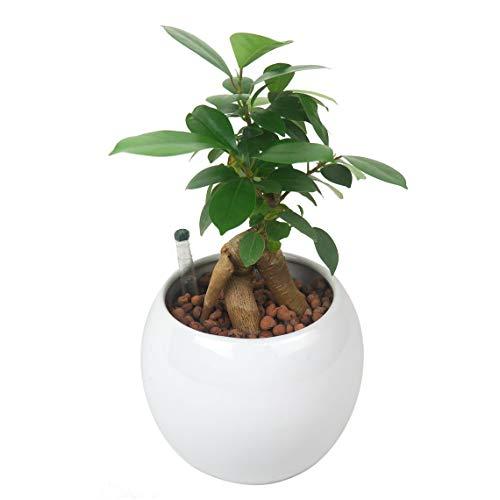 ガジュマル 土を使わずきれいで簡単管理な白陶器植え ハイドロカルチャー
