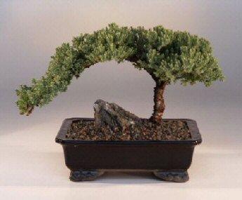 Bonsai Boy's ON THIS TREE Juniper Bonsai Tree - Large Juniper Procumbens nana