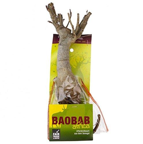 Végétaux d Ailleurs Baobab Baum Setzling Affenbrotbaum 4-5 Jahre + 5 Samen