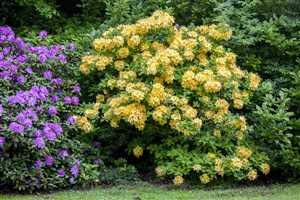 Rhododendron lut. 'Goldpracht'...
