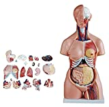 JKFZD Modello di Organo Umano Bulino sessoso Modello Anatomia del Corpo ha organi per Gli Studenti di Medicina per studiare Il Modello di Medicina (Size : 85cm)