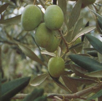 Vivai Gardenhome - Olivo Ascolana