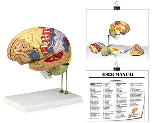 Vision Scientific VAB400 Color-Coded Human Regional Brain - 4 Parts | Approximately 130 Key Structural Features are Identified | 9 Vivid Colors to Identify The Different Brain Functions | W Key Card