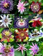 vegherb Blütepassi Mix Passionsfrucht Exotische Essbare Tropische Kletterpflanze Samen 15 Samen