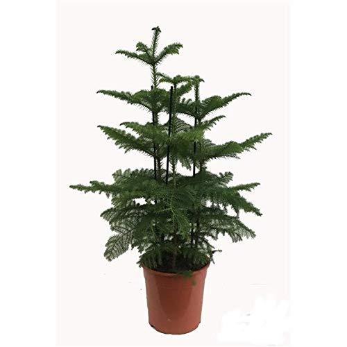 Zimmertanne 150-160 cm Araucaria heterophylla Norfolk-Tanne Zimmerpflanze