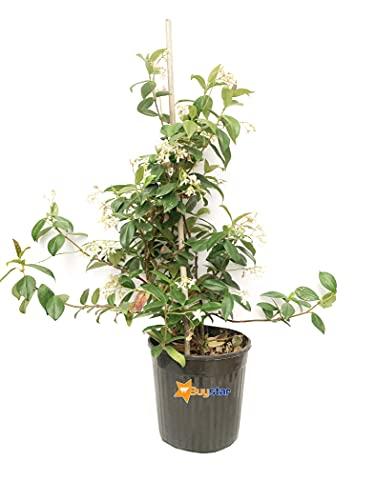 Pianta di gelsomino Rincospermun | Pianta da esterno rampicante pianta siepe vera gelsomino rampicante vaso 20 cm altezza 60/70 cm