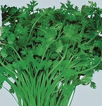 PlenTree 100 semillas de cilantro orgánica mexicana Coriandrum sativum