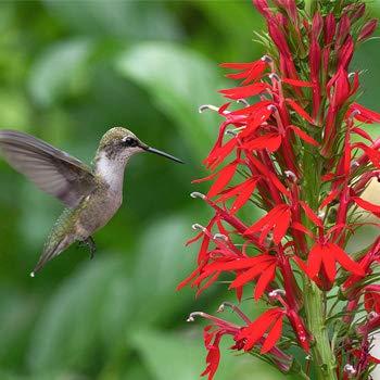 Cardinal Flower 700 Seeds -半边莲植物种子,多年生野花种子,蜂鸟花园种子,红色Cardinal Flower植物种子