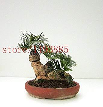 10 PCS mini-bonsaï graines cycsa Bulk cycas graines en pot, les plantes à feuillage purifient l'arbre de cycas d'air pour la maison jardin Bricolage
