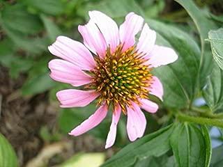 Echinacea tennesseensis - Cone Flower - Fresh Seeds