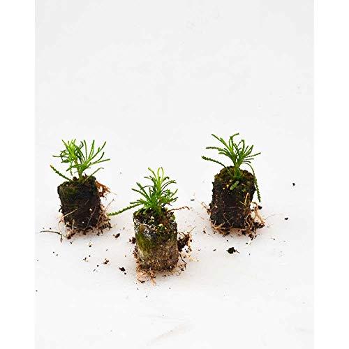 Kräuterpflanzen - Olivenkraut/Olivia - Santolina viridis - 3 Pflanzen im Wurzelballen