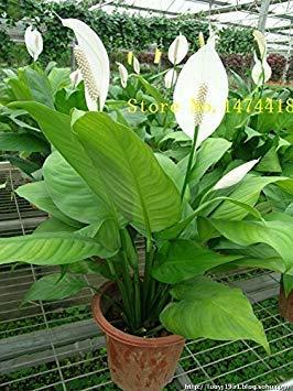 VISTARIC Spathiphyllum Samen, Topf Balkon, Pflanzen ist einfach, angehende Rate von 95%, Strahlungsabsorption, Mischfarben 100PCS