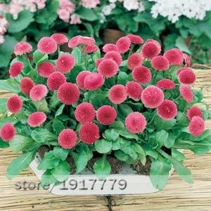 graines anglais Daisy, rares graines de fleurs Bellis Perennis en intérieur Bonsai graines de chrysanthème plante pour Home & Garden100pcs / bag