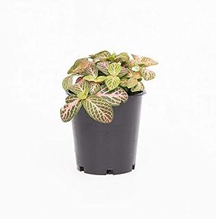 fittonia-red-cloud live plant include pot best decorative plant