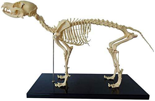 BBYT Esqueleto de Perro canino Anatómico Modelo, Animal Anatomía Esqueleto de Perro Biología Humana Enseñando Veterinario Enseñando Demostración Herramienta