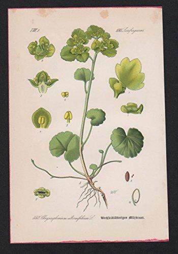 Wechselblättriges Milzkraut Lithographie Kräuter Heilkräuter herbs herbal