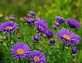 Charm4you Plantas Coloridas Semillas,Semillas Florales de jardín de Paisaje de Aster Aster_50pcs,Flores Semillas Planta Bonsai