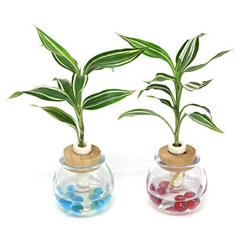 セラハイト『幸福の木 ドラセナ・サンデリアーナ・ビクトリー』と タマビン 2個セット 【土なし 清潔 水やり簡単 セラハイト】