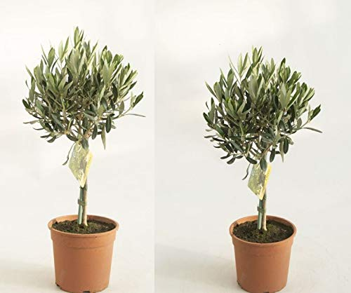Olea europea Olive T18 Stamm 70-80 cm Topf 18 cm Olivenbaum 1 Stück