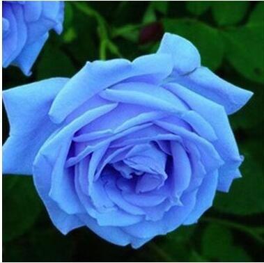 Pots de fleurs jardinières, 20 sortes de 100 graines, Rainbow Rose graines belle rose graines bonsaïs graines pour la maison et le jardin 17