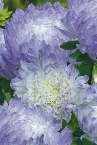 CHINA ASTER (Callistephus Chinensis White to blue) 150 seeds