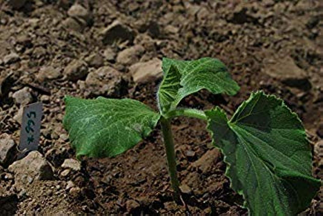 経験的イタリック鎖発芽種子:12シードスカッシュバター小さな丸い緑