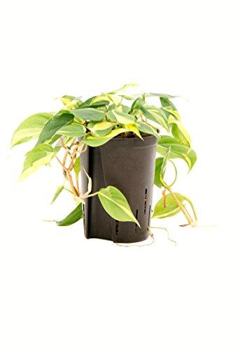 Baumfreund Philodendron scandens Variegata