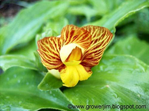 Bio-Saatgut nur Nicht Pflanzen: 3 Rhizome: Costus pictus (Ingwer) Rhizome by FäHRE