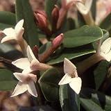 Plant World Seeds - Daphne Tangutica Seeds