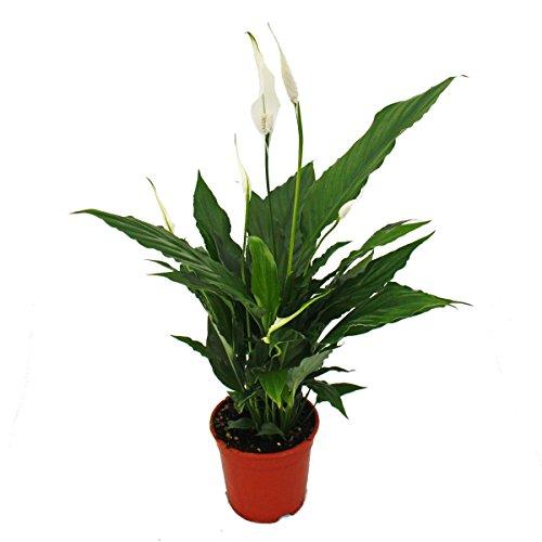 Exotenherz - Spathiphyllum, Einblatt,