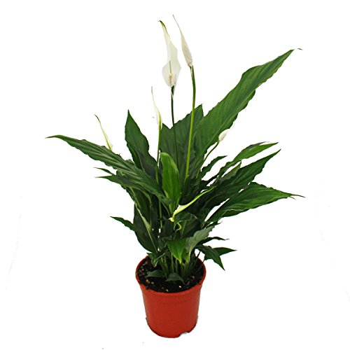 Spathiphyllum, single leaf,'Sweet Chico', 13cm pot