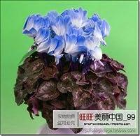 2:20種子/バッグ20色用選択されたラナンキュラスフラワーシードペルシャキンポウゲ種子ポット花植物庭盆栽diyホーム植物