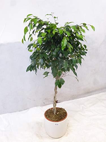 [Palmenlager] Ficus benjamini