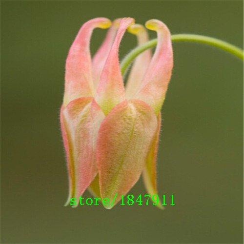 Big vente original Paquet 100 Graines / Paquet, graines de Columbine, graines Aquilegia, fleurs colorées Family Garden Bonsai Plante
