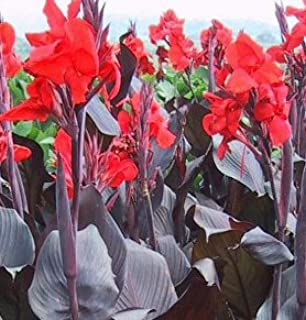 Beautiful Red Flowering T. Black Canna Lily Fresh Top Size Rhizome/Bulb/Plant
