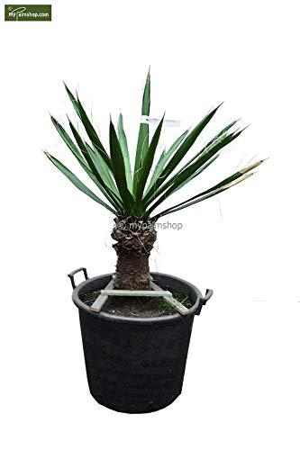 Winterharte Fädige Palmlilie - Yucca Carnerosana - Stamm 30-40 Topf Ø 55cm - SPEDITIONSVERSAND