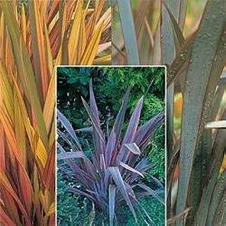 Phormium 'Rainbow Striped Hybrids' Perennial Seeds By Thompson & Morgan 90263-9