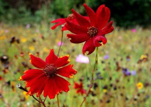 Coreopsis Tinctoria Zwerg Red Plains Coreopsis, 750 Samen