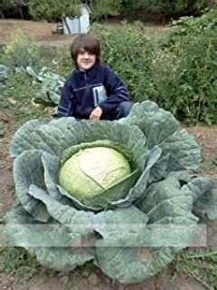Brend New!!! 200Seeds/Bag Rare Giant Russian Cabbage Seeds, Vegetable Seeds 95%+ Germination, Vegetable for home garden