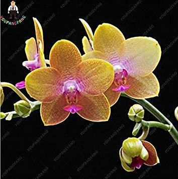 100pcs 20 types d'orchidées Graines vivaces Fleurs Plantes ornementales en pot Bansai Semences pour balcon et cour plante Diy jardin multicolor