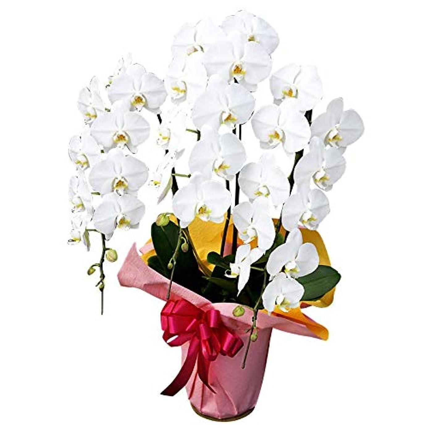 グレートオーク雪だるま回想開店祝い 花 胡蝶蘭 リーズナブルなのに豪華 期日指定可能商品