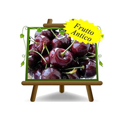 cerise acide Visciola de l'Allemagne - plante de fruits vieux arbre sur pot de 20 - max 170 cm - 2 ans
