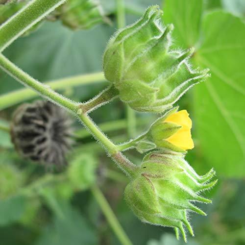 50 semi Abutilon theophrasti (iuta cinese o foglia di velluto)