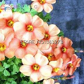 Graines 100pcs Bonsai Fleur Oxalis Fleurs Graines Rare Flores Garden Home Plantation Sementes Raras De Verduras