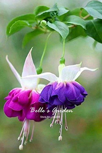 50pcs Multi-couleurs rose pétales de double Fuchsia Graines bon marché Graines Potted belle fleur Graines Bonsai Graines 05