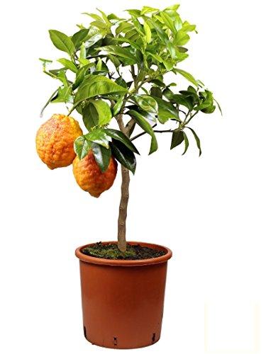 Meine Orangerie - Rote Zitrone Mezzo - Glühweinzitrone - echter Citrusbaum - 70 bis 100 cm - veredelte Zitrone im 6,5 Liter Topf - Citrus Limon - Lemon Tree - Fruchtreife Zitronen Pflanze