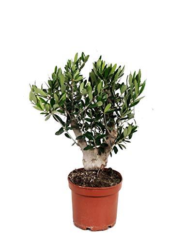 Olivenbaum, Stamm, (Olea europea),...