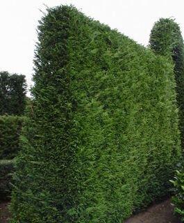 10 Stück Thuja Lebensbaum 70 - 100 cm