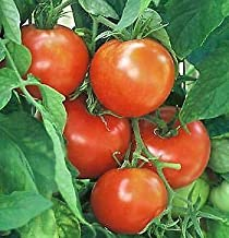 Tomato Golden Nugget 1,000 Seeds Need More? Ask