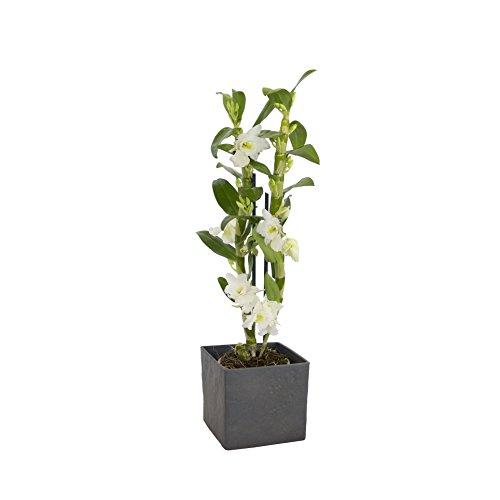 Dominik Blumen und Pflanzen, Asiatische Traubenorchidee, Dendrobium nobile, Orchidee, 40-50 cm hoch, 1  Pflanze, Zimmerpflanzen